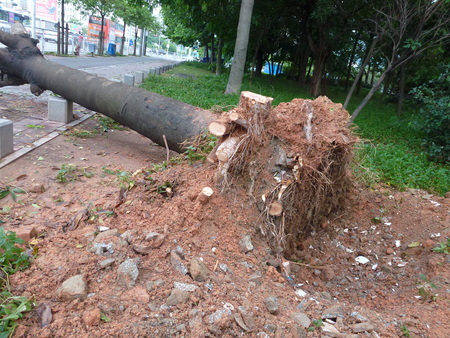amanda: Shenzhen: After Typhoon Nida, uprooted trees fell to the ground