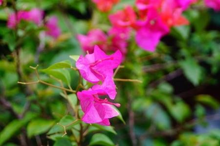 garden features: Bougainvillea