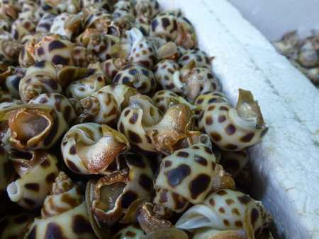 Closeup on babylonia sea snails