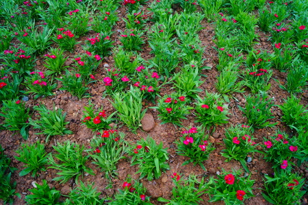Dianthus chinensis is a perennial herbaceous plants, one of the Chinese traditional famous flowers. Stock Photo