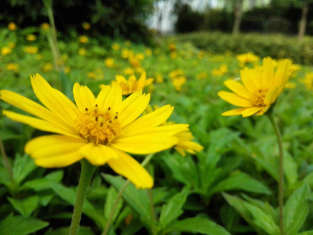 The yellow wild chrysanthemum Stock Photo