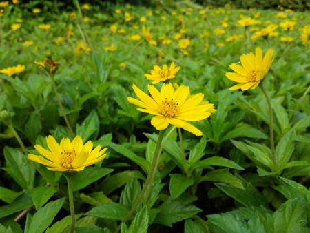 The yellow wild chrysanthemum is very beautiful Stock Photo