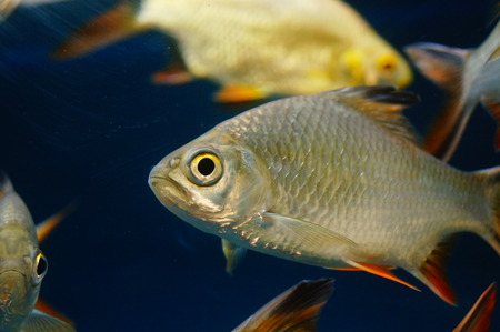Double line crucian carp in the pool, as an ornamental fish, very beautiful