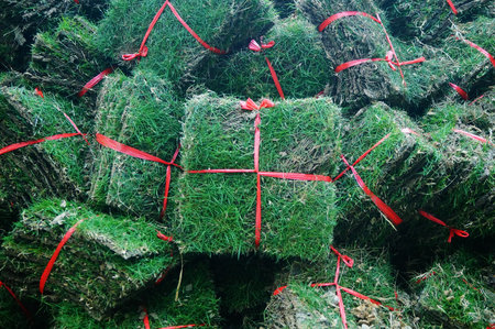 A close-up of green turf. Grass vegetation on the site of green belt construction