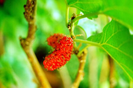 Mulberry fruit Фото со стока - 145948465