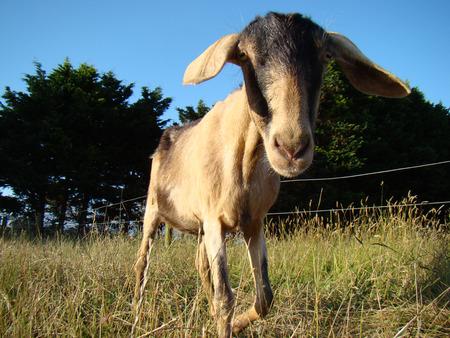 nosey: Nubian Goat on rural farm