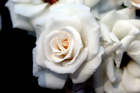 Closeup beautiful fresh white rose Stock Photo