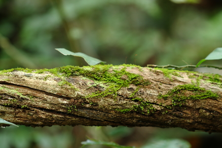 green moss stuck and growing on tree in forest, Thailand