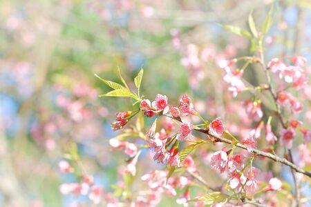 Pink Prunus cerasoides flower at Khun Sathan National Park, Nan, Thailand