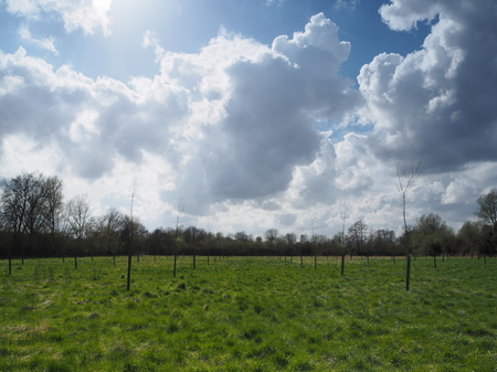 Billowing white cumulus clouds in a blue sky blow across a green meadow planted with neat rows of sapling trees Stock Photo