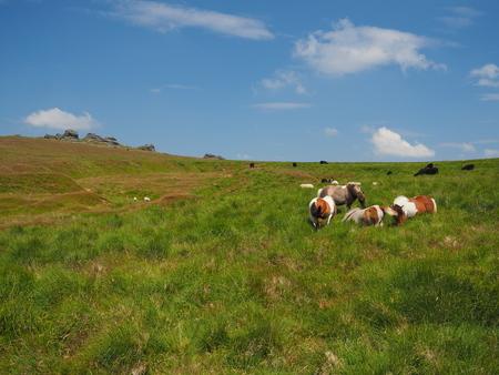 Wild ponies overlooking Great Links Tor, Dartmoor National Park, Devon, UK Stock Photo