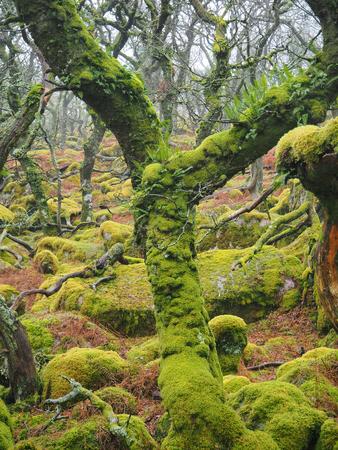 Black-a-Tor Copse Eichenwald in großer Höhe über dem West Okement River, wo die hellgrünen Flechten und Moose die Felsen und Bäume bedecken, Dartmoor National Park, Devon, UK