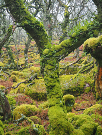 Black-a-Tor Copse high altitude oak woodland above the West Okement River where the bright green lichens and mosses cover the rocks and trees, Dartmoor National Park, Devon, UK