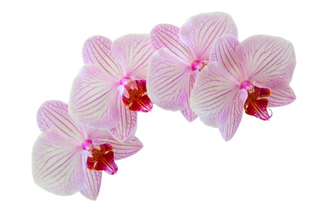 Beautiful orchid flowers isolated on white background Stock Photo