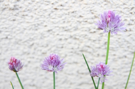 chive flowers on the wall Stock Photo