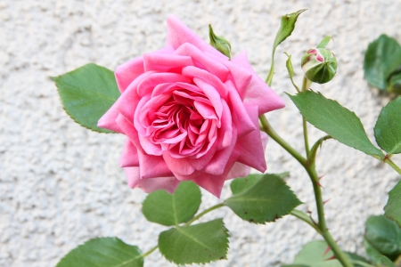 Pink rose on the wall