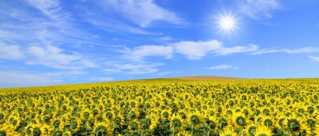 field of sunflowers and sunny blue sky