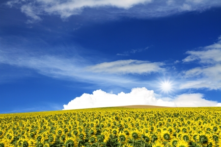 field of sunflowers and sunny blue skyfield of sunflowers and sunny blue sky