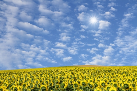 field of sunflowers and sunny blue sky photo