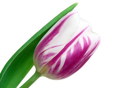 Beautiful tulips on a white