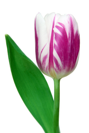 Beautiful tulips on a white Stock Photo - 22536112