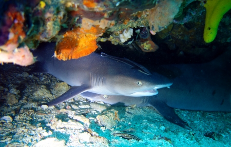 White tip reef sharks close up