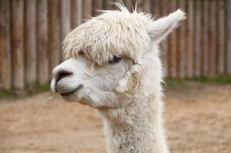 A portrait of a lama