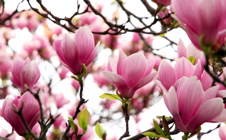 Pink Magnolia flowers in blooms photo