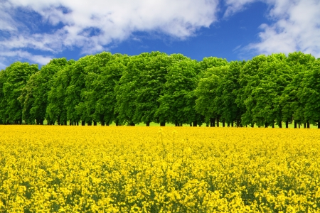 Yellow rapeseed field and green trees under the blue sky