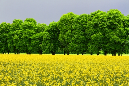 Green trees and yellow field