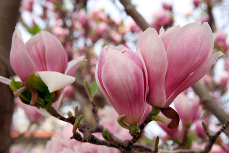 Magnolia flowers blooming in Spring