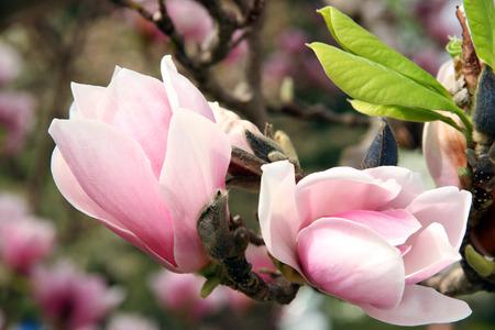 magnolia flowers: Magnolia flowers blooming in Spring