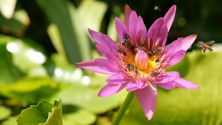 close up and blury background honey bee flying and bees collecting pollen in deep of colorful blooming purple water lily The view captured at a lotus pond in Thailand. Lotus flower in Asia is important Buddhism culture symbolic