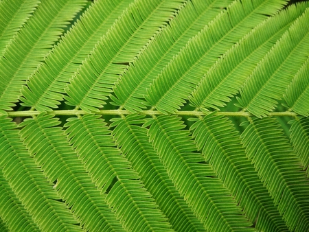 close up acacia green leaf texture for background