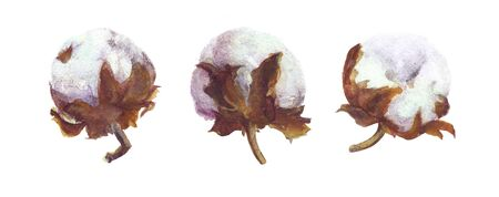 Cotton Bolls Watercolor Painting. Handdrawn