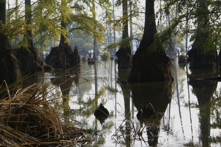 Cypress Swamp photo
