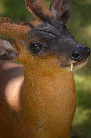 buck teeth: Wild deer Stock Photo