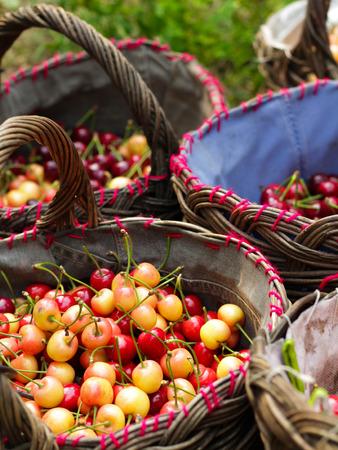 Cherry harvest photo