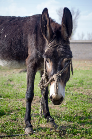 farmlife: Laughing donkey on a meadow. Stock Photo