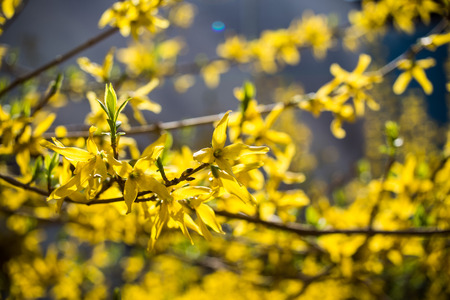 bloomer: winter jasmine (jasminum nudiflorum) Stock Photo