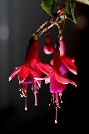 Fuchsia or Onagraceae Salvia Splendens Scarlet Sage. photo