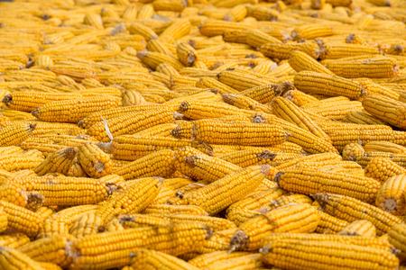 big Grains of ripe corn. Macro image. photo