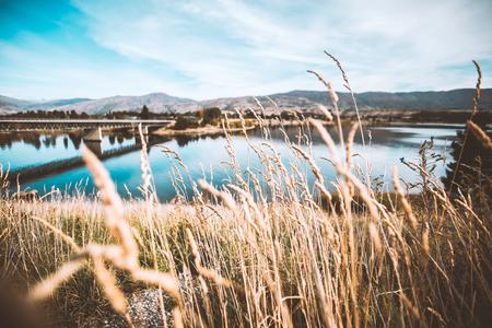 common reed: Common Reed (Phragmites) lake