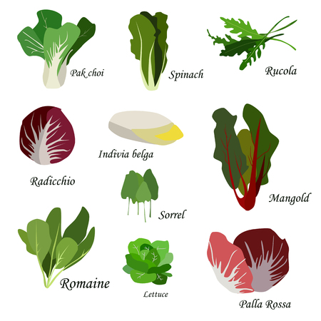 Salad ingredients. Leafy vegetables icons set. Organic and vegetarian illustration with Pak choi, Spinach, Rucola, Radicchio, Indivia belga, Mangold, Sorrel, Romaine, Lettuce and Palla Rossa. Vector EPS10