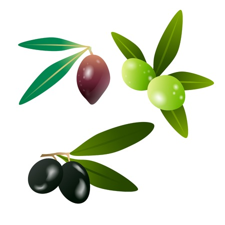 oil crops: Green olives and dark olives on branch with leaves isolated on white background. Vector illustration eps10