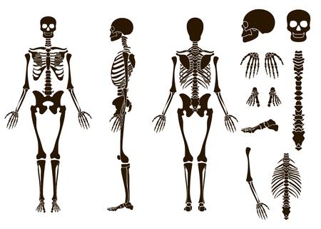 인간의 뼈대 골격 구조 요소 집합입니다. 해골 수집. 벡터 일러스트 레이 션 eps10