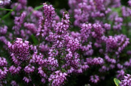erica: spring erica Stock Photo