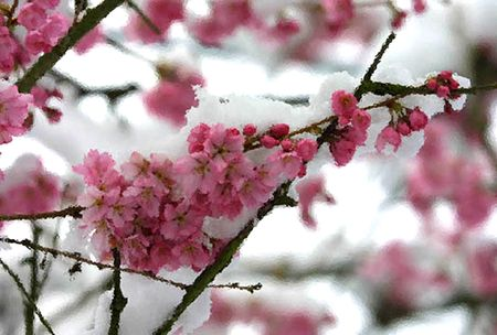 snow flowers: frosted snow-covered cherry blossoms