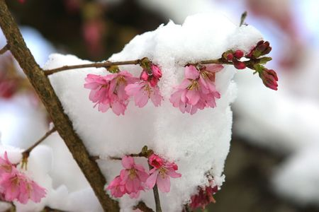 snow covered cherry blossoms Stock Photo