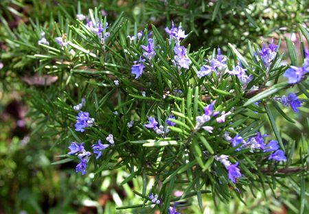 Tuscan rosemary in bloom